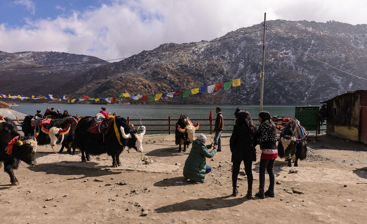 Фотография 2. Фотосессия с яками на берегу озера Тсонгмо в Гималаях. Рассказы туристов про отдых в Индии. 1/2000, -2.69, 9.0, 200, 24.