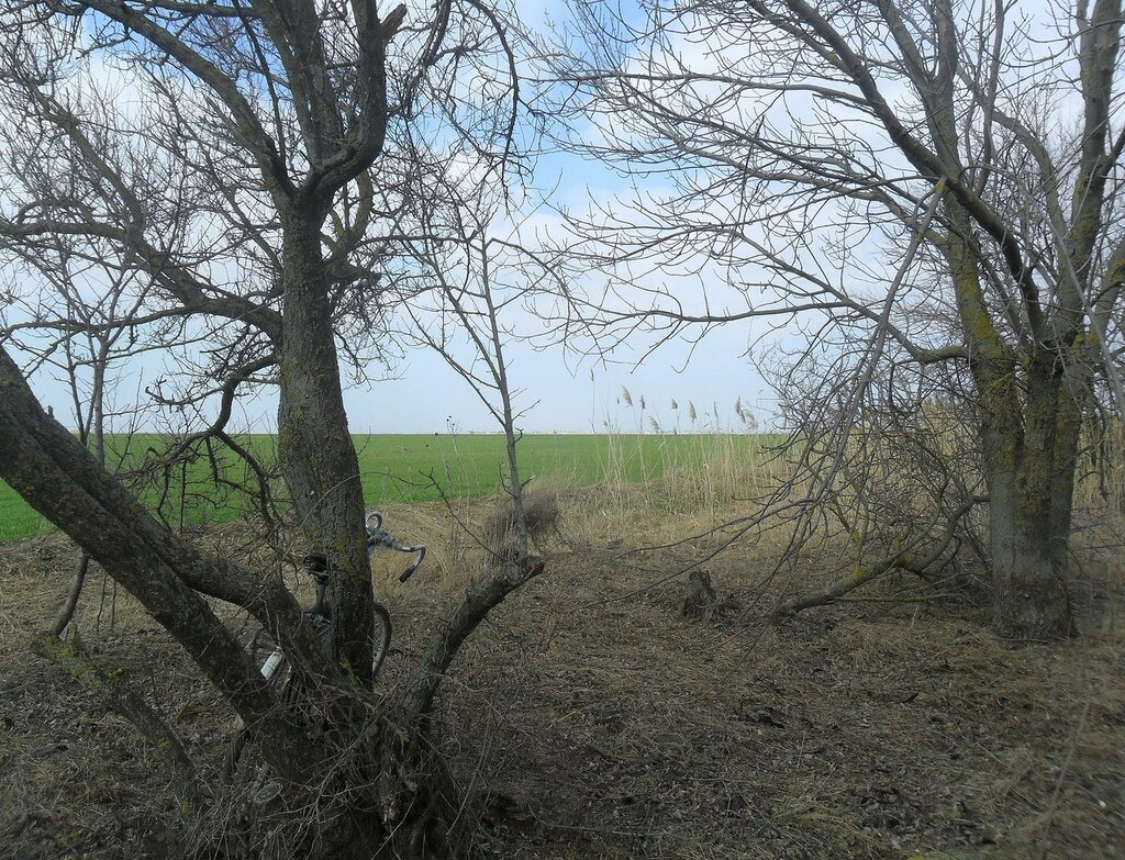 Деревья у поля ... SAM_5810.JPG