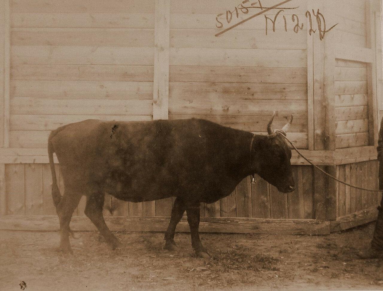 47. Корова Машка темнобурая (8 лет) местной породы, Зерентуйского приюта для детей ссыльно-каторжных