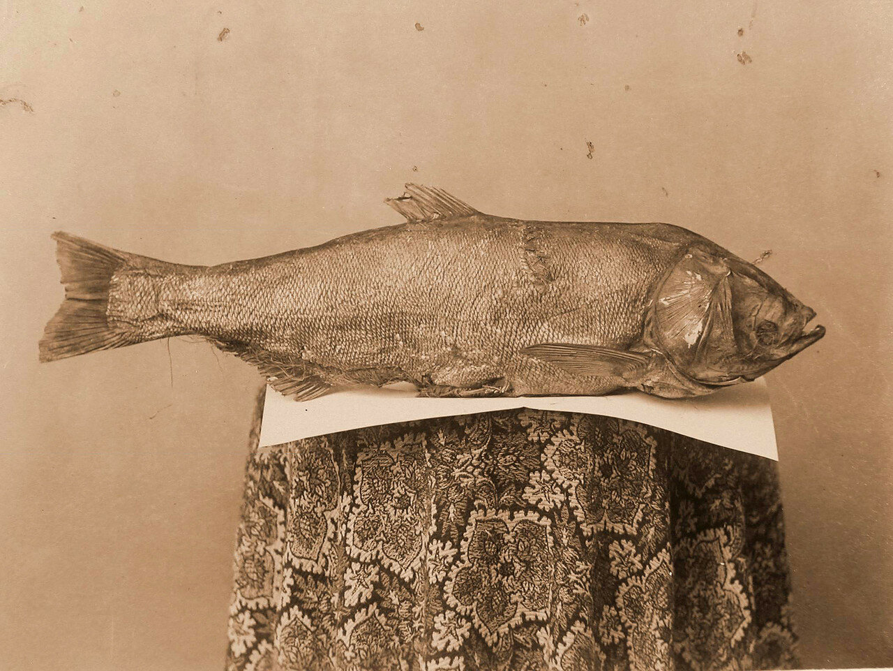 82. Один из экспонатов отдела Рыболовство - новый вид рыбы, появившийся впервые в Аргуни в 1899 году