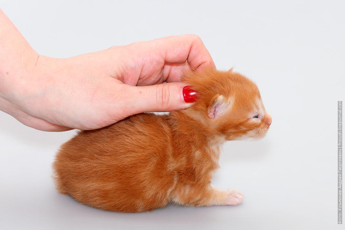 новорожденный котенок Мейн кун