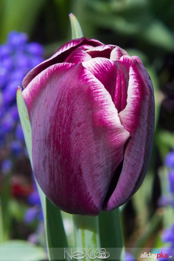 Я люблю все цветы, выпуск 168 | Тюльпан «Jackpot».