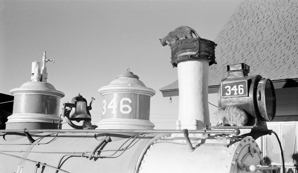 Cats climb on the stacks, lamp, and bell of D&RGW narrow gauge locomotive 346 at Alamosa (Alamosa County), Colorado, Nov 1951
