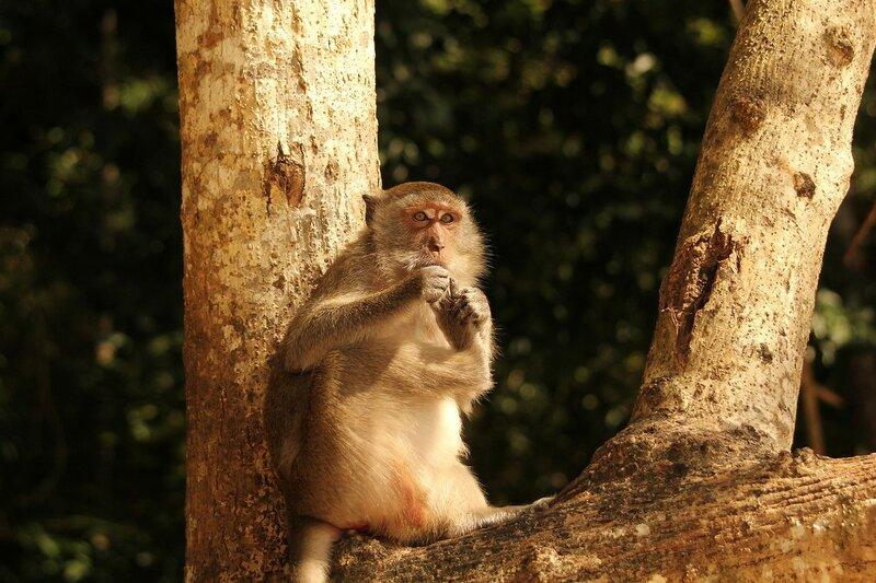 Длиннохвостый макак (яванский, макак-крабоед, Macaca fascicularis) чистит между пальчиками задней ноги