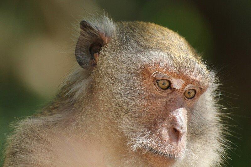 Длиннохвостый макак (яванский, макак-крабоед, Macaca fascicularis) - задумчивый взгляд