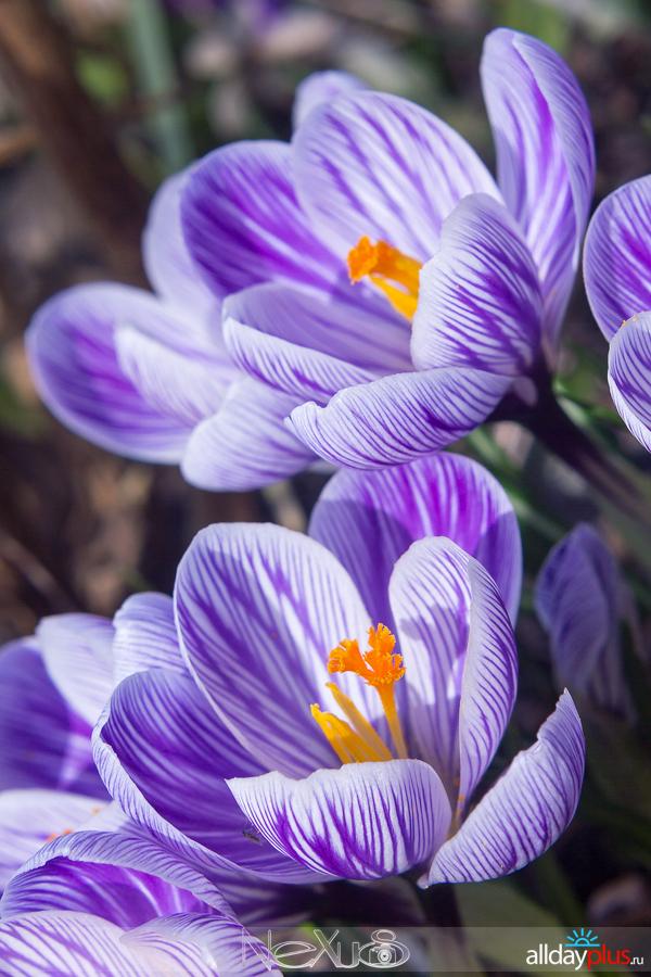 Я люблю все цветы, выпуск 143 | «Крокусы - солдатики весны».