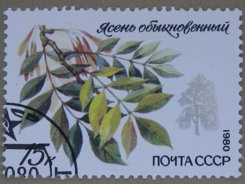Ясень обыкновенный (Fraxinus excelsior).