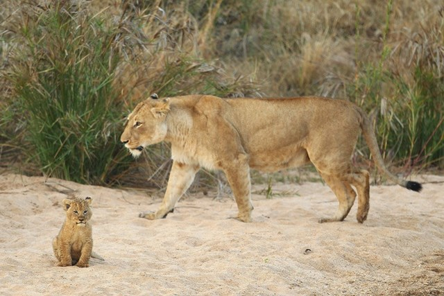Африканские львы, львицы и львята   кровавые хищники в кругу семьи