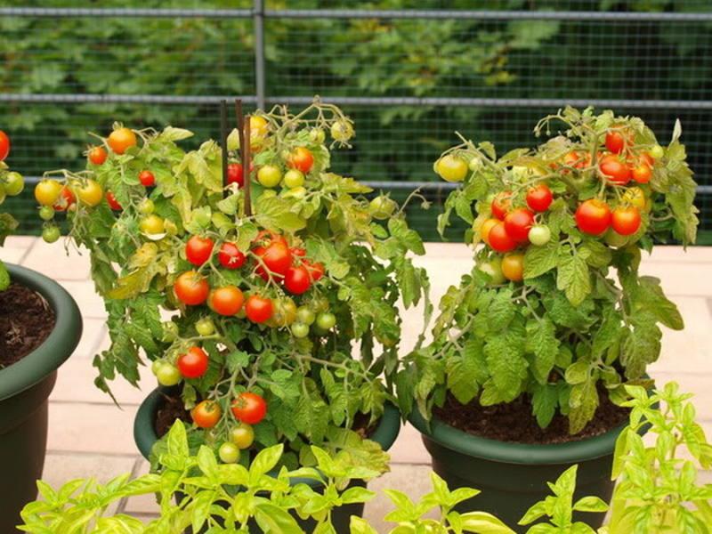 выращивание помидоров черри