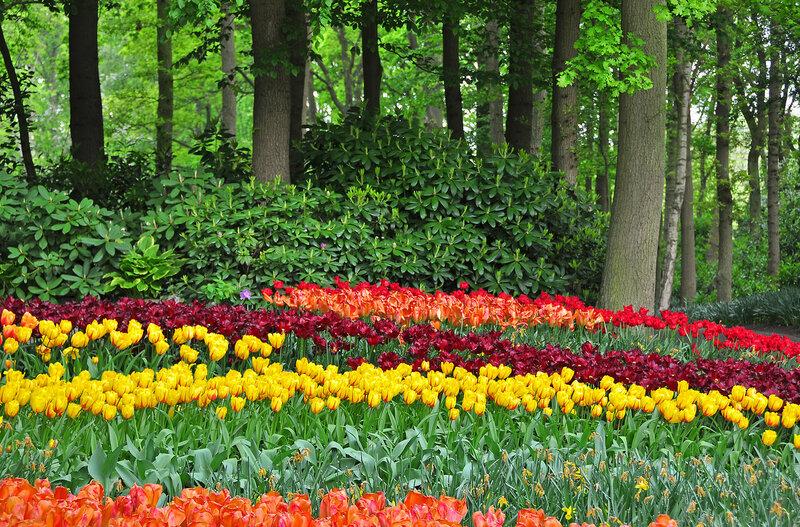 Снова цветут тюльпаны