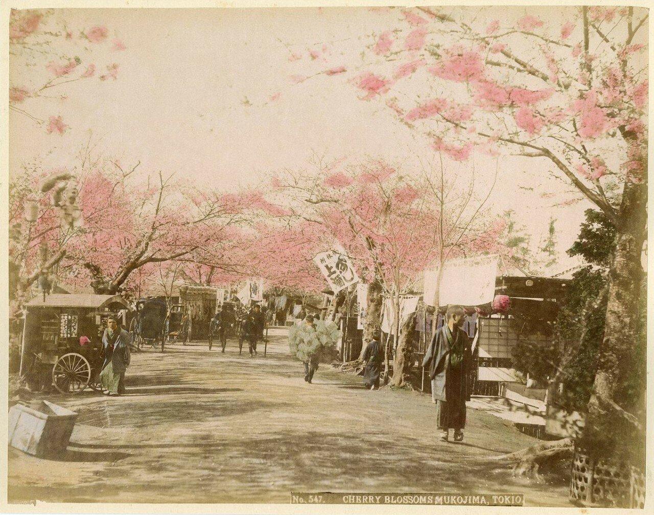 Токио. Мукодзима. Вишни в цвету