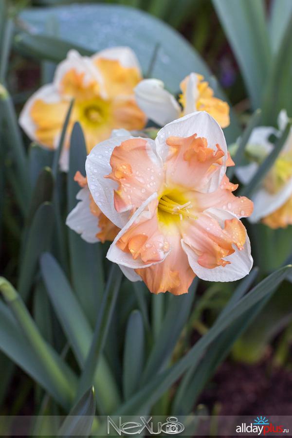 Я люблю все цветы, выпуск 154 | Нарцисс «Rainbow colors» и тюльпан «World Peace».