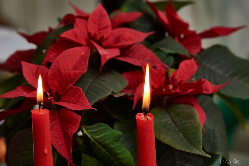 Пуансетия со свечами.