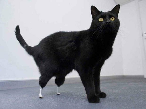 кошачий пупок фото