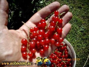 Сбор красной смородины