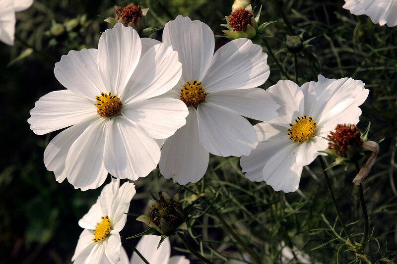 Непритязательный цветок... И утончённый...