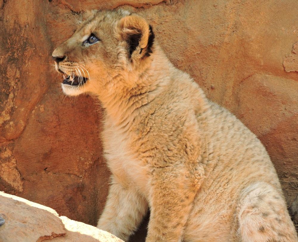 lions29.jpg