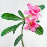 Adenium Obesum Double Flower.