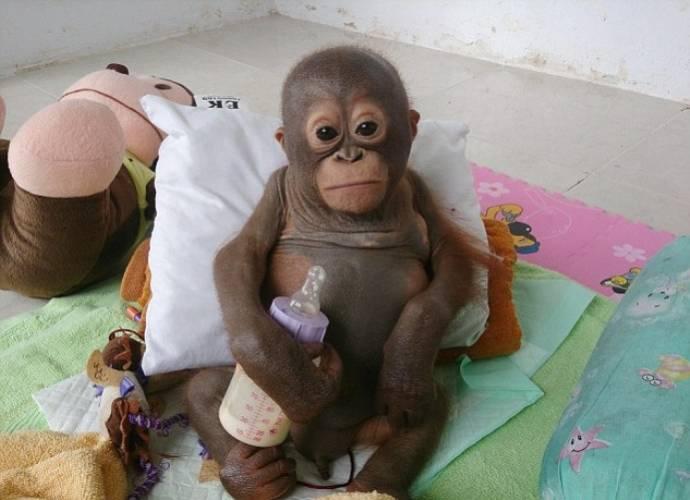 орангутан Буди