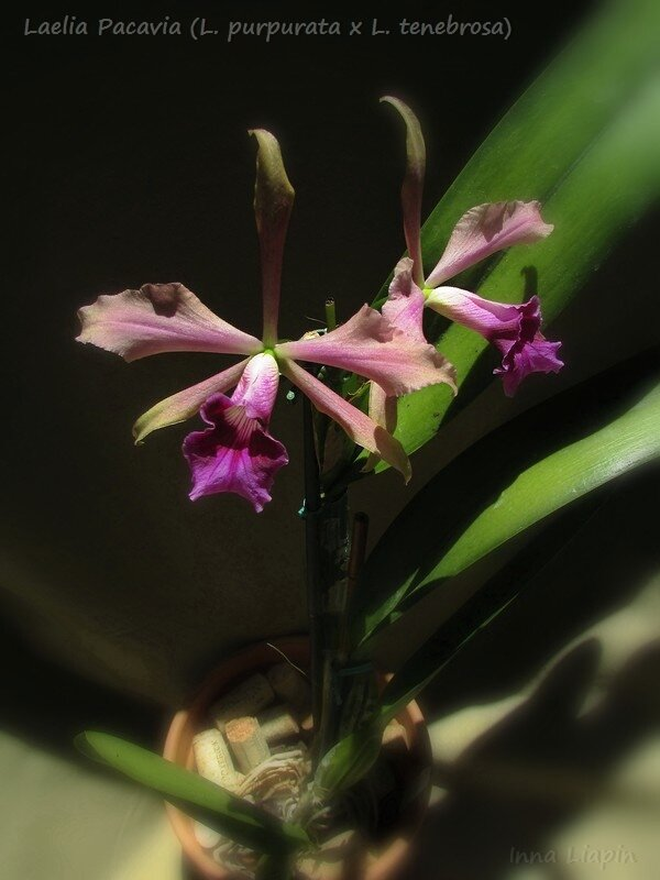 Laelia Pacavia (L. purpurata x L. tenebrosa)