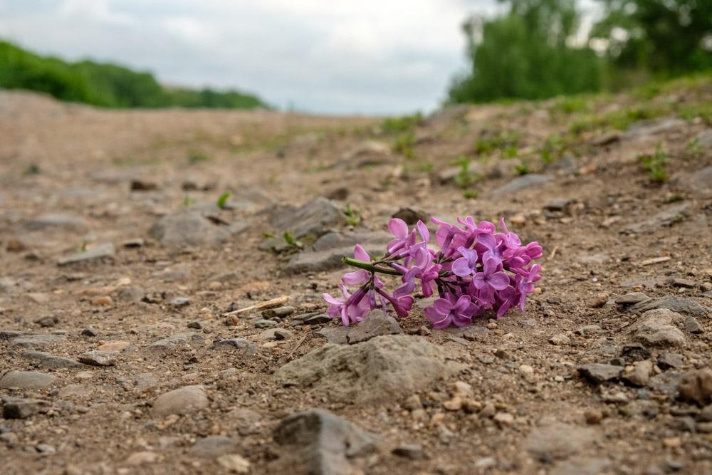 цветок сирени лежащий на дороге