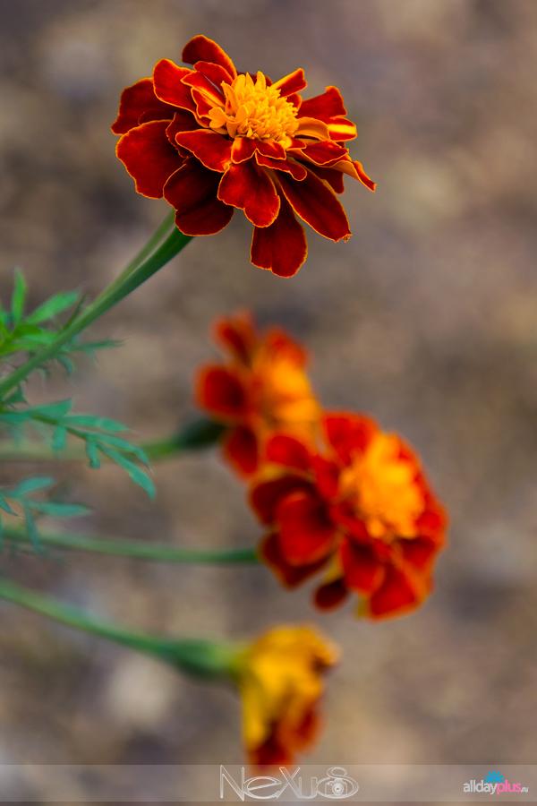 Я люблю все цветы, выпуск 139 | Бархатцы, они же тагетес.