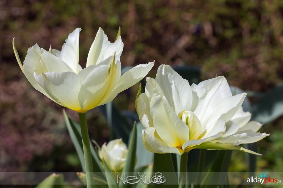 Я люблю все цветы, выпуск 153 | Тюльпан 5a8«Exotic Emporior» и нарцисс «Golden Dukat».
