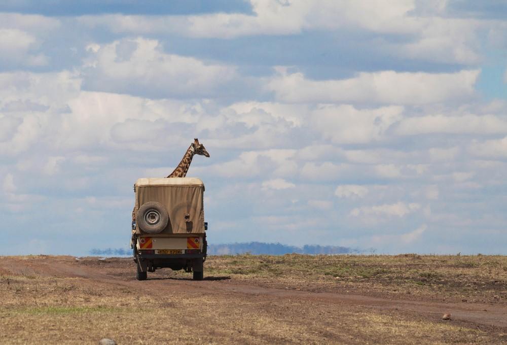23. Жираф торчит из грузовика.