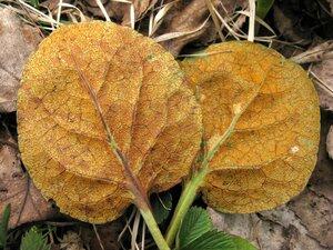 s:паразиты растений,f:распростёртые,c:оранжевые,c:желто-коричневые,c:желтые