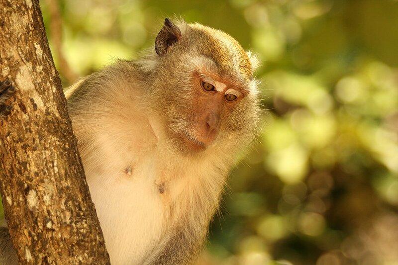 Длиннохвостый макак (яванский, макак-крабоед, Macaca fascicularis) задумчивый белобровый взгляд