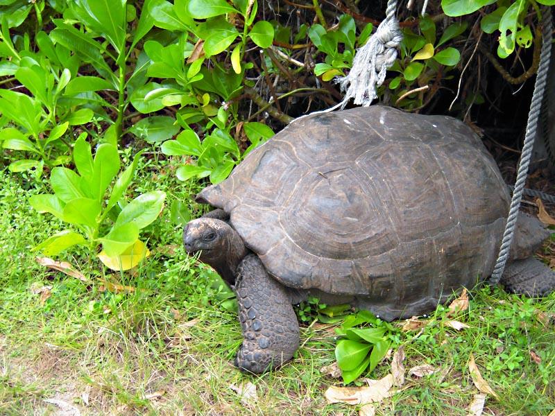 Черепаха на выпасе