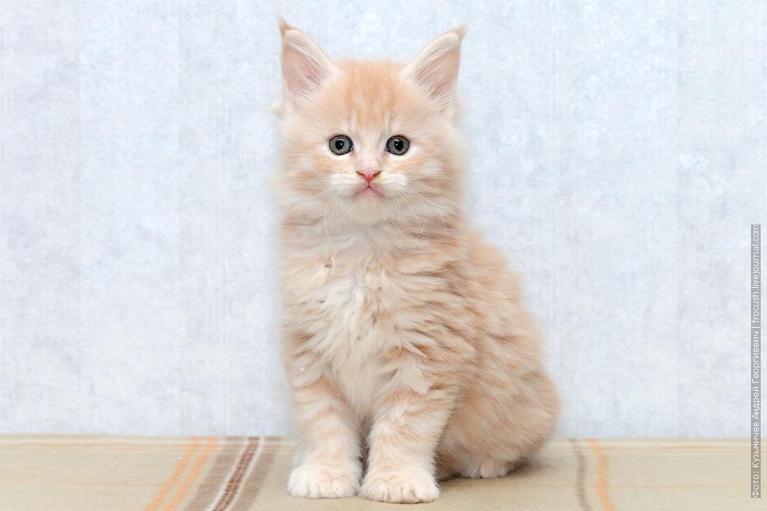 котята мейн кун продажа