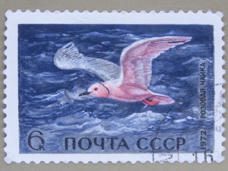 Розовая чайка (Rhodostethia rosea).
