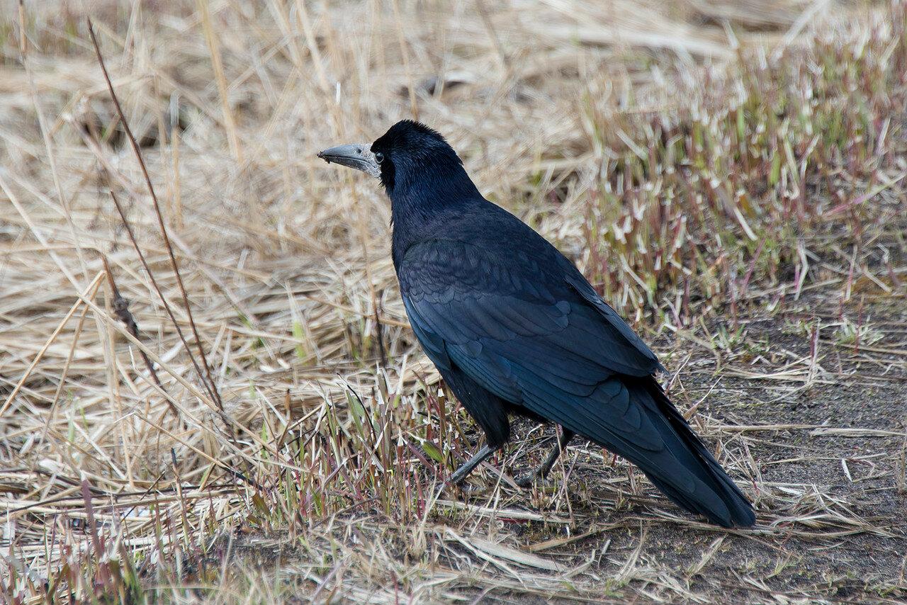 Грач (Corvus frugilegus). Автор фото: Владимир Брюхов
