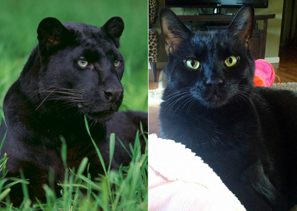кот и пантера