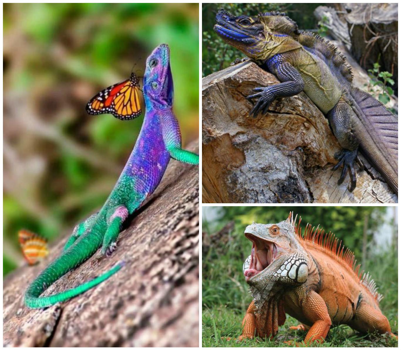 Хамелеон Хамелеон – в высшей степени уникальная рептилия. Его пальчики соединены перепонкой, у