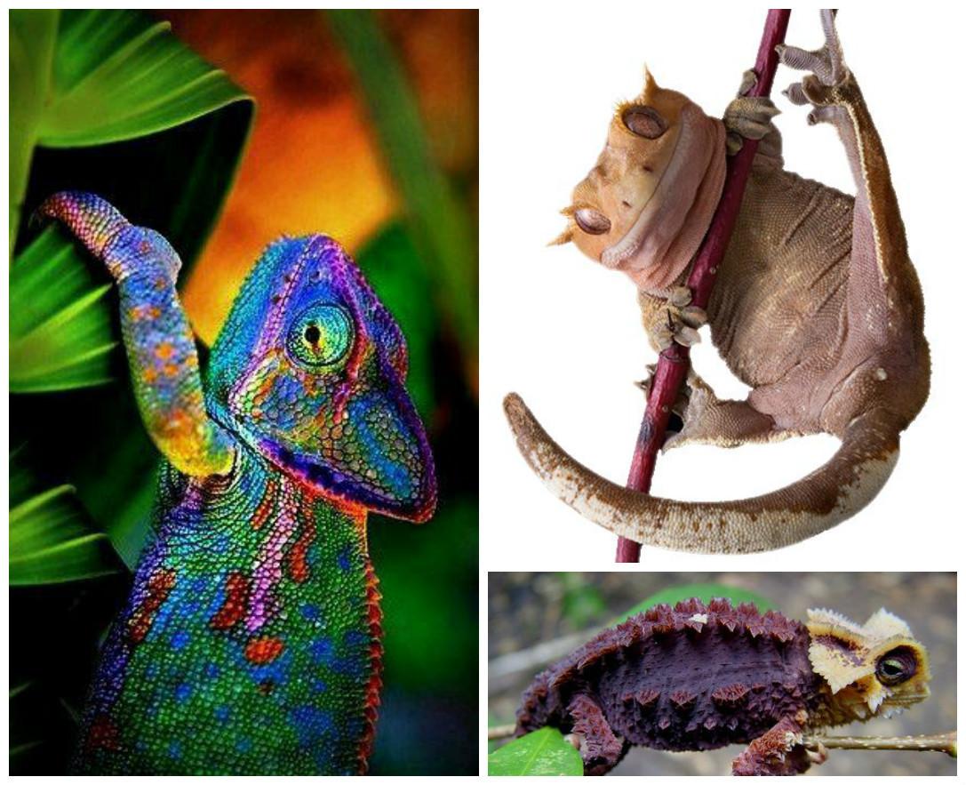 Самой длинной ящерицей является тонкотелый варан Сальвадора, или кабарогойя (Varanus salvadorii), из