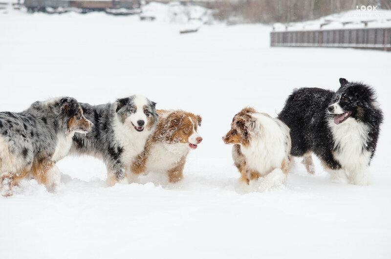 Мои собаки: Зена и Шива и их друзья весты - Страница 6 0_a7710_c02f5ae4_XL