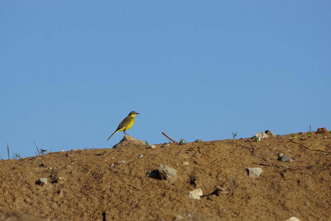 Жёлтая трясогузка (Motacilla flava). Автор фото:Привалова Марина