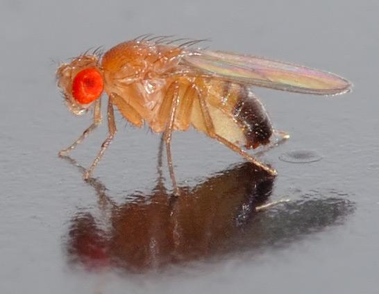 Drosophila_melanogaster_-_side_(aka).jpg