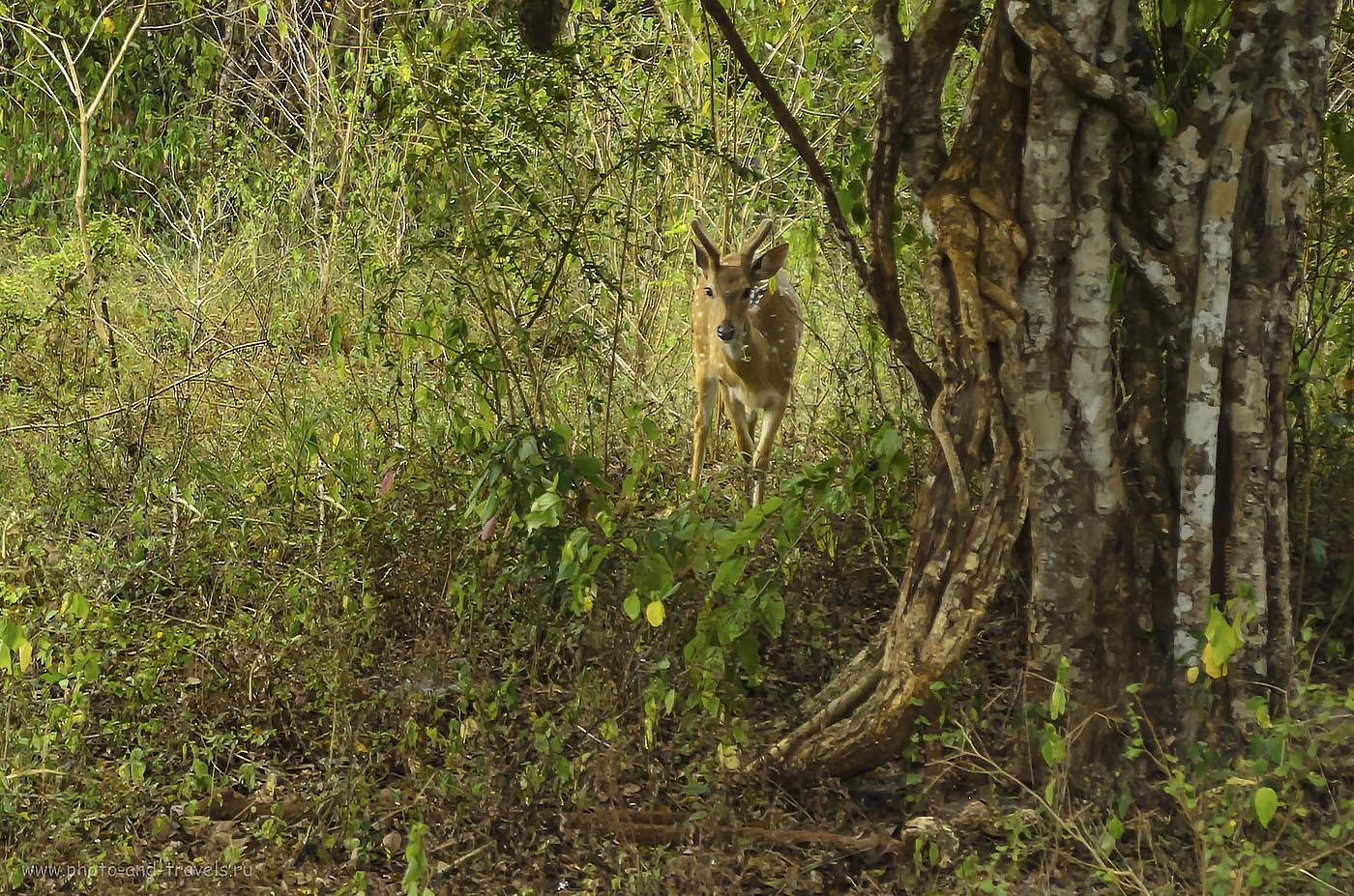 14. Фото. Бэмби в парке Яла на Шри-Ланке (640, 55, 5.6, 1/55)