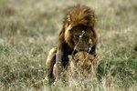 Львы.jpg