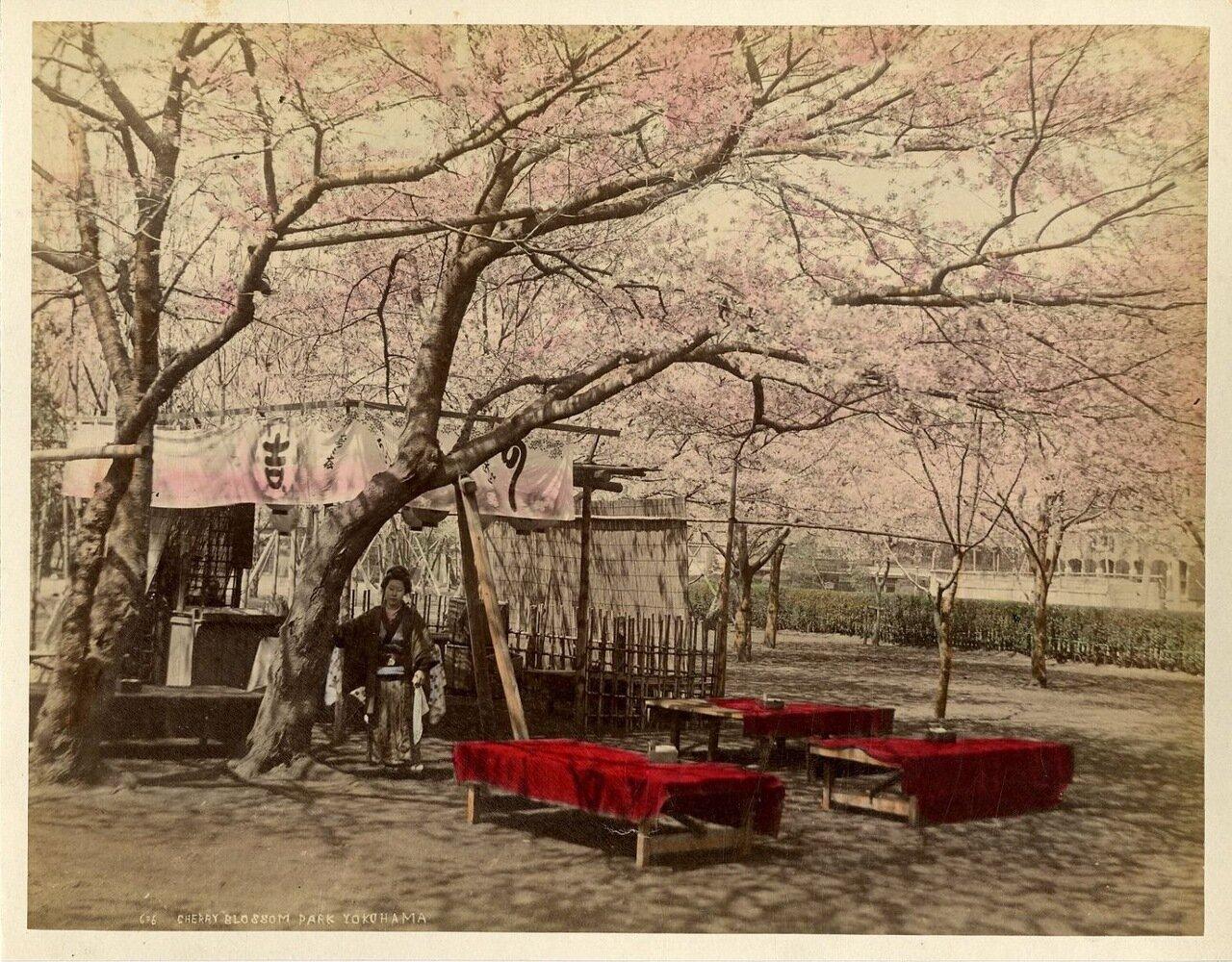 Иокогама. Цветение вишни в парке