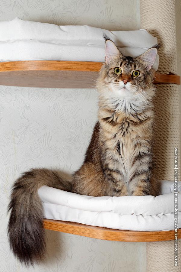 Мейн-кун кот фотография