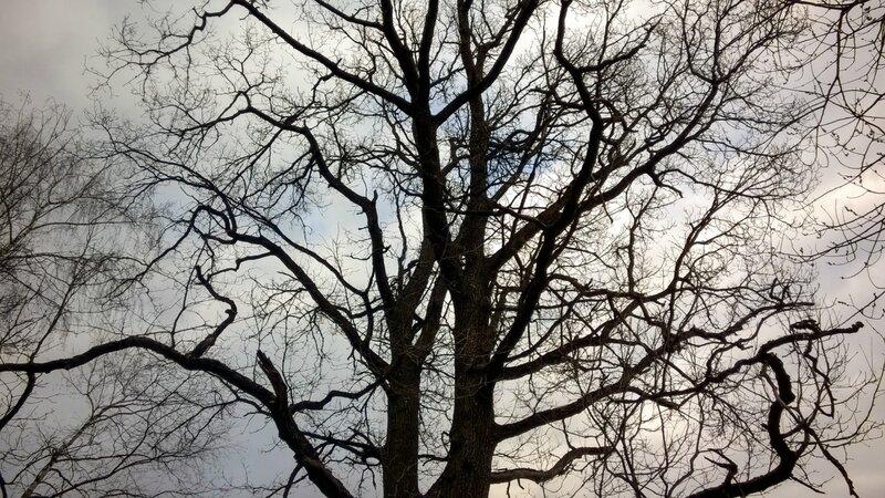 Дуб на фоне неба