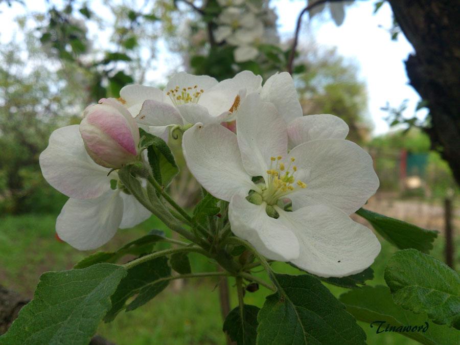 цветы-яблони.jpg