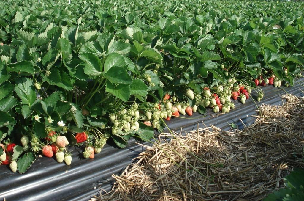 выращивание клубники в отрытом грунте
