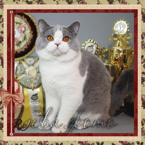 Louis Le Grand Amethyst Myst a 03 британский короткошерстный кот голубой биколор