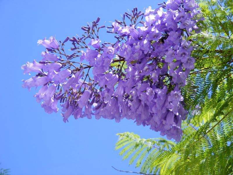 flores de jacaranda