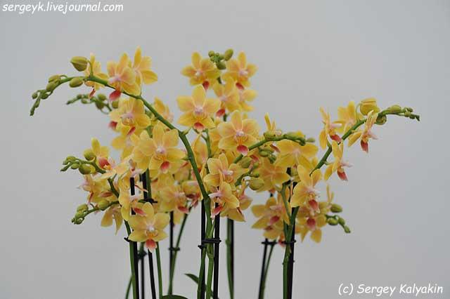Phalaenopsis Sunny Smell (1).JPG